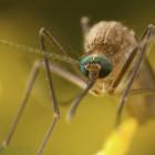 mosquito_eyes
